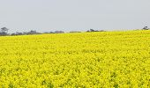 stock photo of margarine  - Canola plants used to make Canola Oil  - JPG