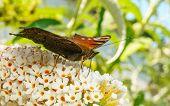 foto of butterfly-bush  - A beautiful Peacock butterfly feeding on a Buddleja bush flower - JPG