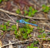 foto of stick-bugs  - Blue dragonfly that is on a stick near the ground - JPG