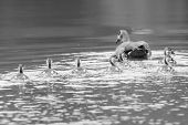 picture of baby goose  - Egyptian goose family go for a swim on their own in dangerous wild water artistic conversion - JPG