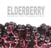 image of elderberry  - The Elderberry Sambuscus Nigra - JPG