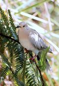 picture of ring-dove  - Side profile of a Ringneck Dove  - JPG