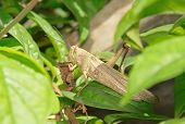 image of locust  - Without one leg locust eating dried leaves - JPG