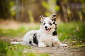 picture of border collie  - Pretty puppy border collie lying on the ground - JPG