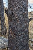 stock photo of collins  - pine tree trunks damaged by recent wildfire in Rocky Mountains near Fort Collins - JPG