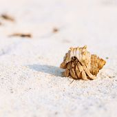 picture of hermit  - Hermit crab on beach at Maldives - JPG
