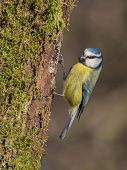 stock photo of tit  - upright photograph of a blue tit Cyanistes caeruleus perched on the side of a tree trunk - JPG