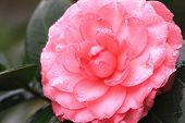 pic of raindrops  - Camellia flower and raindrop - JPG