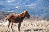 picture of mule  - Young highland mule grazing on winter mountain meadow in clear sunny day - JPG