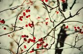 pic of rowan berry  - Clusters of red rowan berry under the snow, seasonal vintage holiday natural background
