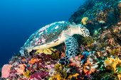 stock photo of hawksbill turtle  - Hawksbill Sea Turtle feeding on a healthy tropical coral reef - JPG