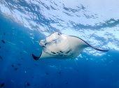 foto of manta ray  - Large Manta Ray feeding near the ocean surface  - JPG