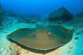 stock photo of biodiversity  - Stingray - JPG