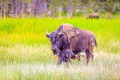 image of wander  - Adult Bison wanders inside Yellowstone National Park - JPG