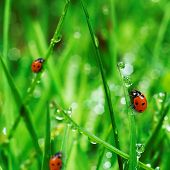 picture of water bug  - fresh green grass with water drops and ladybugs close up - JPG