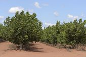 image of walnut-tree  - rows of walnut trees in rural paddock - JPG