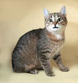 image of yellow tabby  - Tabby nice cat sitting on yellow background - JPG