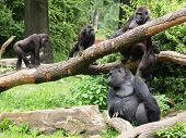 pic of gorilla  - A gorilla family on tree branches with green background - JPG