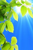foto of green leaves  - green summer leaves and blue sky with sun - JPG