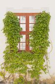 stock photo of creeper  - red window framed by green creeper white brick - JPG