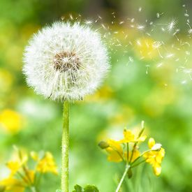 image of dandelion seed  - bright dandelion with flying seeds - JPG