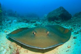 picture of stingray  - Stingray - JPG