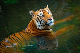 picture of zoo  - Tiger in water in zoo - JPG