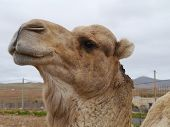stock photo of arabian  - A portrait of a Arabian camel or Dromedary with a facial expression on Fuerteventura belonging to Spain - JPG