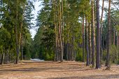 image of coniferous forest  - remnants of snow in the spring coniferous forest - JPG