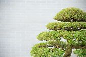 foto of bonsai  - top of green bonsai tree with copy space - JPG