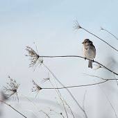 image of dartmouth  - American Tree Sparrow perched comfortably on a thin stalk - JPG