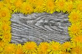 stock photo of eukaryote  - Framing of blooming dandelions on a wooden background - JPG