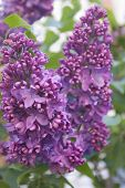 pic of lilac bush  - Blooming lilac bushes against the clear blue sky in spring - JPG