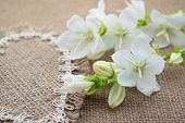 stock photo of angiosperms  - White flowers Campanula lie on the heart of coarse cloth - JPG