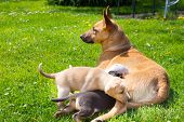 stock photo of bitches  - Mixed-breed bitch breast feeding her cute little puppies outdoors on a meadow on a sunny spring day. ** Note: Shallow depth of field - JPG