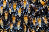 stock photo of swarm  - Close up on giant honey bee swarm hanging from tree branch - JPG