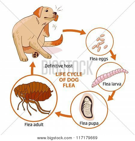 mouse and flea relationship