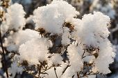Постер, плакат: Dry Wildflowers Under Snow Closeup
