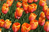 stock photo of yuri  - closeup of flowerbed with bright beautiful orange tulips Yuri Gagarin sort - JPG