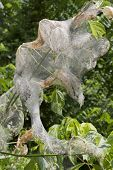 image of cocoon tree  - A large web worm sac hanging from a branch in Spring - JPG