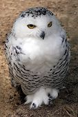 stock photo of hedwig  - Snowy owl sitting on the ground open eyes - JPG