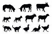 pic of roster  - Vector farm animal silhouette drawn with a vectoral program - JPG