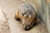 stock photo of wombat  - Image of the Australian Wombat in the park - JPG