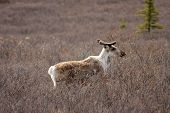 picture of caribou  - A caribou in a field in Alaska - JPG