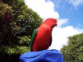 image of king parrot  - this is a very friendly male king parrot - JPG