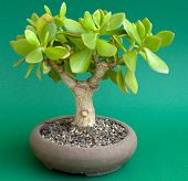 Crassula Ovata As Bonsai