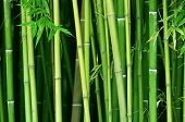 image of bamboo forest  - green bamboo stems close up - JPG