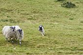 Ireland Trip (may 19-29, 2019) Irish Sheep Herding Demonstration With Shetland Sheep Dogs. Herd Of I poster