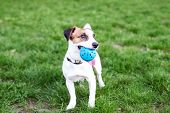 Purebred Jack Russell Terrier Dog Outdoors On Nature In The Grass. The Dog Holds The Ball In His Mou poster
