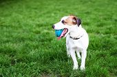 Purebred Jack Russell Terrier Dog Outdoors On Nature In The Grass. Happy Dog in The Park Is Playin poster
